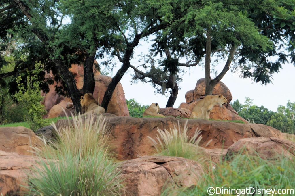 African Lions on Kilimanjaro Safari at Disney's Animal Kingdom
