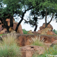 African Lions on Kilimanjaro Safari at Disney's Animal Kingdom